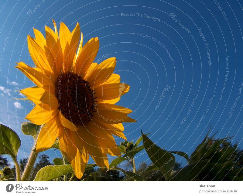 verwandelte clytie Natur schön Himmel Blume blau Pflanze Sommer Freude Wolken gelb Blüte Glück Feld Hintergrundbild Fröhlichkeit drehen