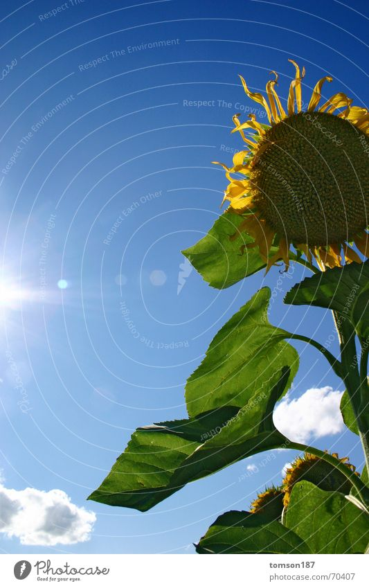 komm, steh auf Sonne Blume Pflanze Sommer Hoffnung Sonnenblume Neuanfang
