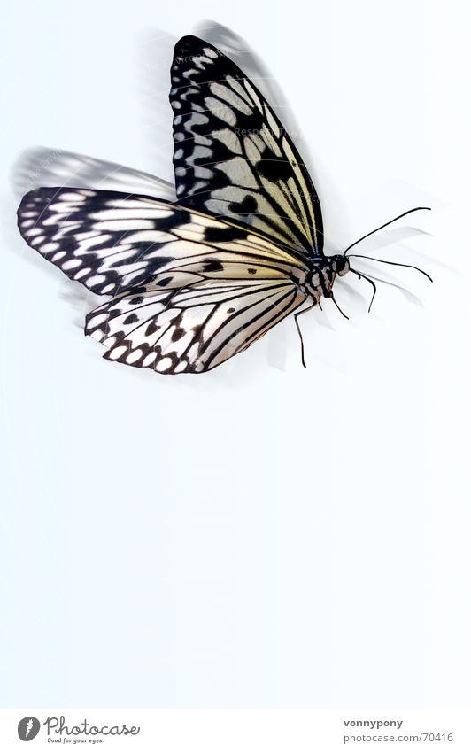 im Anflug... Himmel weiß blau Tier fliegen Schmetterling leicht flattern