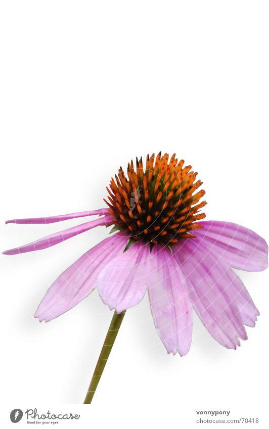 Heilpflänzchen Pflanze Blume gelb Blüte orange Gesundheit Wind rosa frei Freisteller Romantik violett Freundlichkeit Stengel aufwärts Stempel