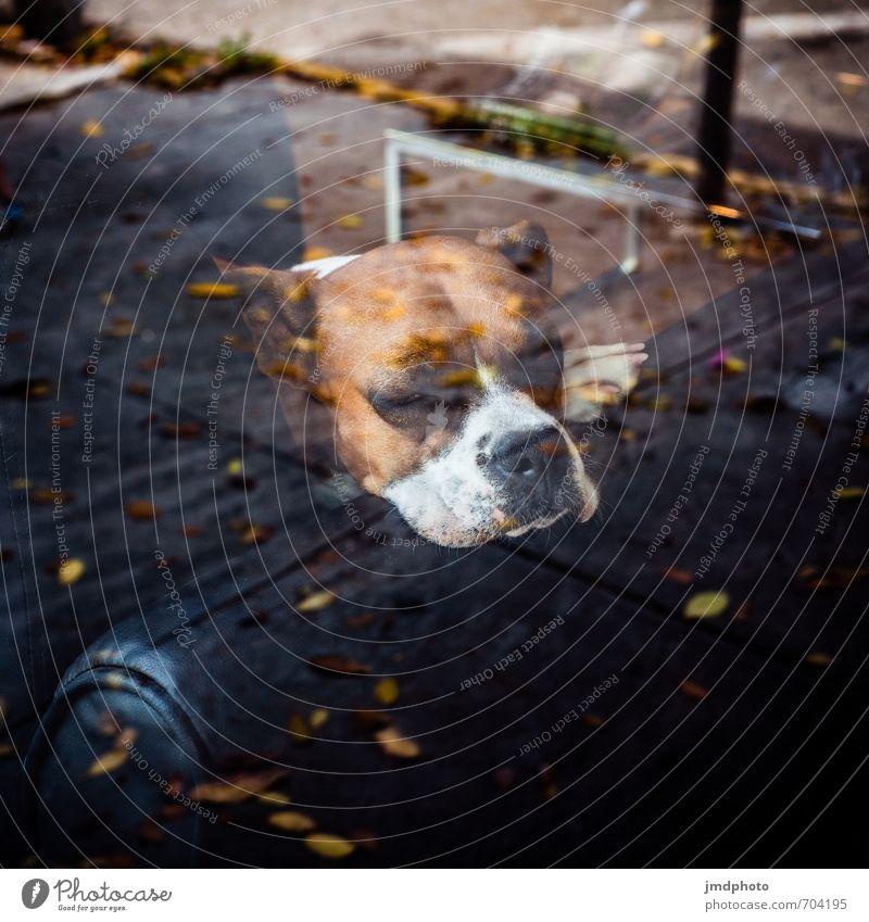 Schaufensterhund Hund Stadt Einsamkeit Erholung ruhig Tier dunkel Fenster Traurigkeit Denken Zeit Häusliches Leben Zufriedenheit sitzen warten beobachten