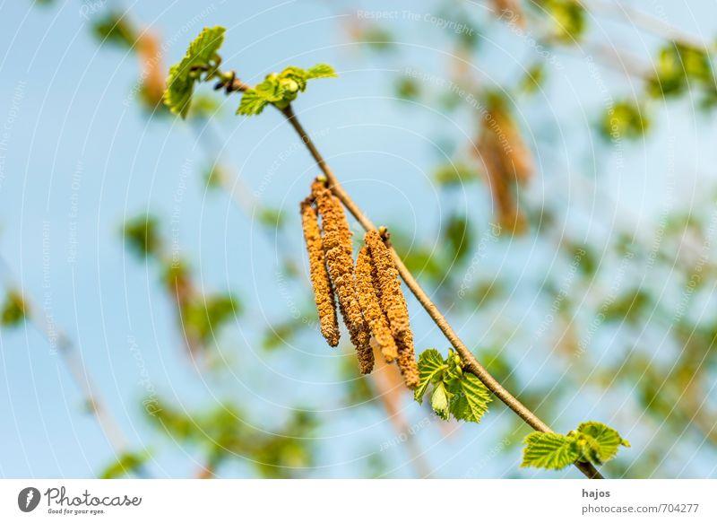 Haselnussblüte mit Blättchen Lebensmittel Frucht Umwelt Pflanze Frühling Baum Sträucher Blüte Wildpflanze blau Corylus avellana Haselstrauch Haselnussstrauch