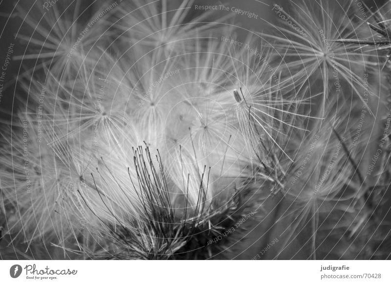 Distel 2 Pflanze weich schön Sommer Herbst schwarz Fortpflanzung Licht glänzend fein zart Korbblütengewächs Schwarzweißfoto carduus Samen Natur Stern (Symbol)