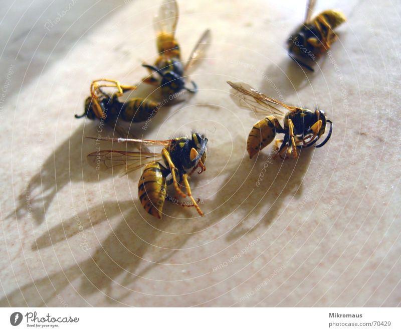 Nichts ist gewisser als der Tod... Tier gefährlich schlafen bedrohlich Trauer Vergänglichkeit Biene Insekt Verzweiflung Friedhof stechen Wespen Plage Stich