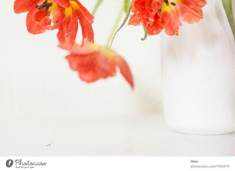 blütezeit Blumenvase Tulpe Blumenstrauß hängen schön rot weiß Dekoration & Verzierung Blühend Innenaufnahme Menschenleer Textfreiraum unten