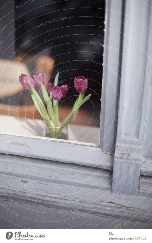 tulpen alt Blume Haus Fenster Holz Wohnung Raum Häusliches Leben Dekoration & Verzierung Schönes Wetter Blühend Tulpe Fensterscheibe Fensterrahmen Holzfenster