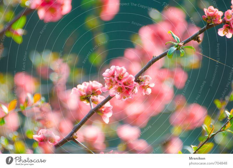 Japanische Blüten Natur Pflanze Frühling Baum Sträucher exotisch Blütenknospen Blütenblatt Blütenstauden Blütenstiel Blütenkelch Garten Gefühle Warmherzigkeit