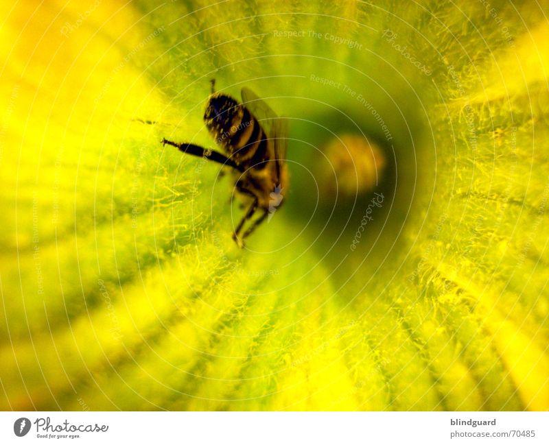 Reinkrabbeln Sommer Ernährung gelb Blüte Beine Flügel Insekt Biene Sammlung Samen 6 Pollen Honig fleißig Kürbis emsig