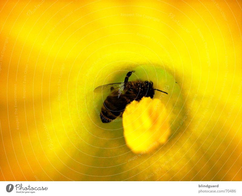 Rumwuseln Biene Blüte Sammlung Honig Insekt fleißig 6 gelb emsig Makroaufnahme Nahaufnahme Kürbis Pollen insect Samen Flügel Beine bee six legs flower garden