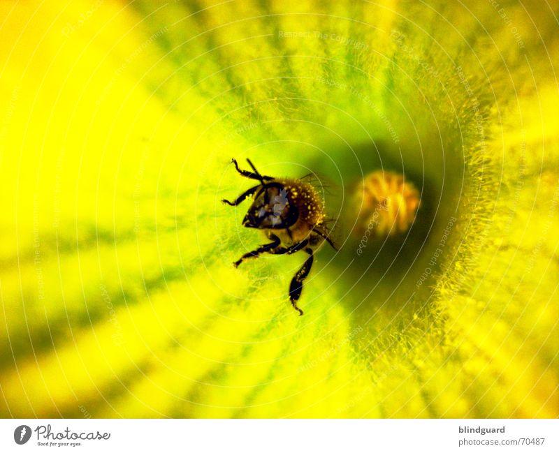 Rauskrabbeln Biene Blüte Sammlung Honig Insekt fleißig 6 gelb emsig Sommer Kürbis Pollen insect Samen Flügel Beine bee six legs flower garden Ernährung