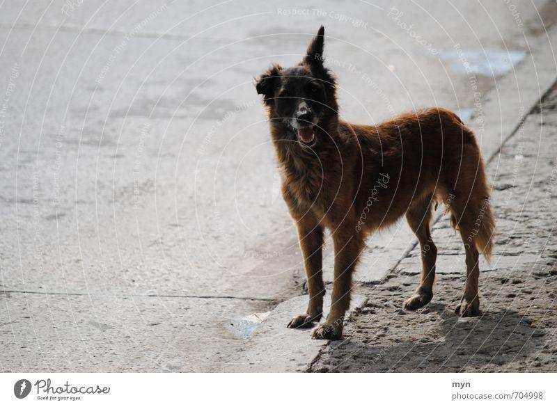 Straßenhund Havanna Hund alt Stadt Einsamkeit Tier grau trist Freundlichkeit Hilfsbereitschaft Fell Ohr Asphalt Bürgersteig Appetit & Hunger Haustier