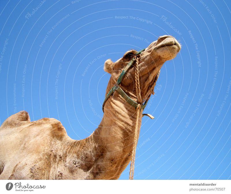zurück aus dem urlaub ... Ferien & Urlaub & Reisen Einsamkeit Tier Leben Sand Wind laufen Ausflug Afrika Wüste Stranddüne Durst Ödland Kamel Naher und Mittlerer Osten Sahara