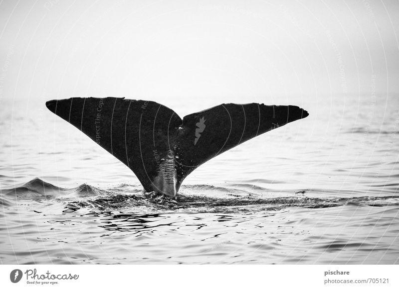 Moby Dick aka Black Beauty Natur Meer Tier außergewöhnlich Abenteuer tauchen gigantisch Neuseeland Flosse Wal