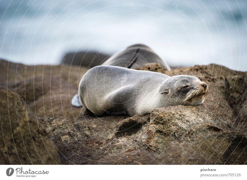 Müde Natur Tier schlafen exotisch Müdigkeit Umwelt Robben Neuseeland Farbfoto Außenaufnahme Tag Schwache Tiefenschärfe Tierporträt