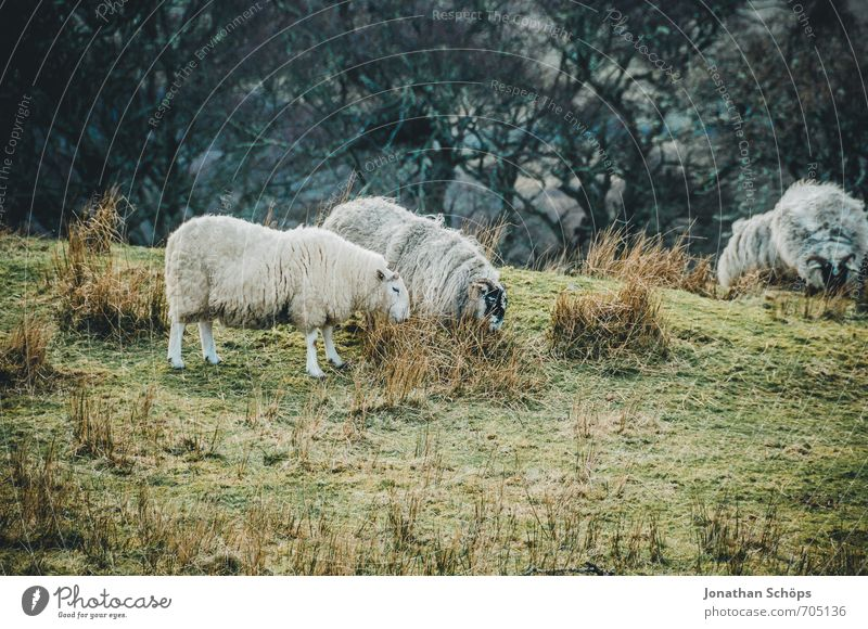 Isle of Skye III Umwelt Natur Landschaft Wiese Feld Tier Nutztier 4 Tiergruppe Herde Tierfamilie Idylle Schaf Schottland Highlands Großbritannien Insel