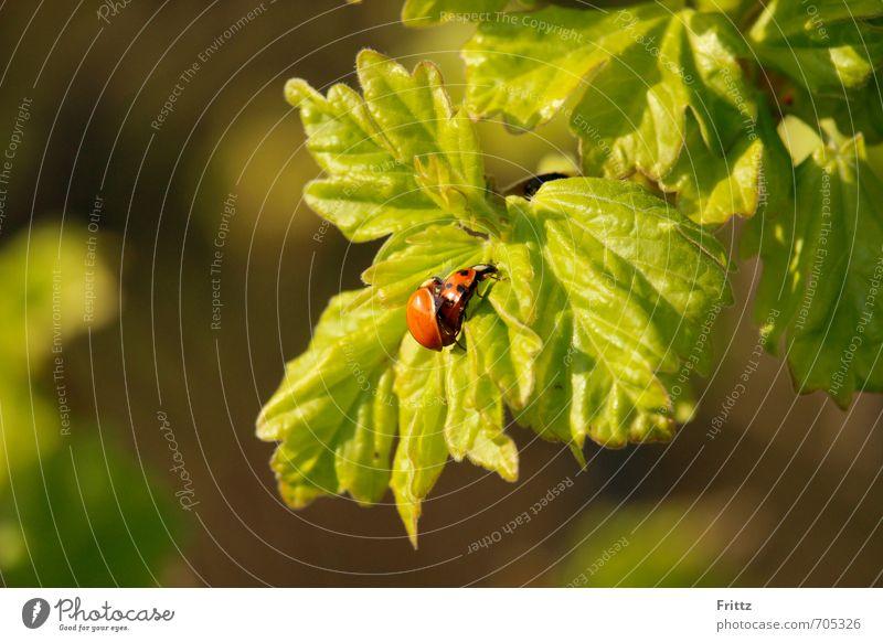 Frühling ... eben Natur Pflanze Tier Schönes Wetter Blatt Wildtier Käfer Marienkäfer 2 Tierpaar krabbeln Liebe Sex oben grün rot Frühlingsgefühle Leidenschaft