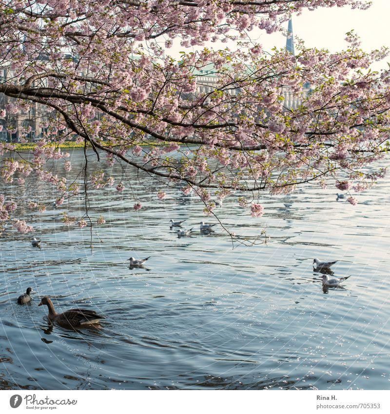 Frühling in Hamburg Blüte See Bach Vogel Möwe Ente Tiergruppe Schwimmen & Baden Lebensfreude Frühlingsgefühle Quadrat Idylle Farbfoto Außenaufnahme Menschenleer