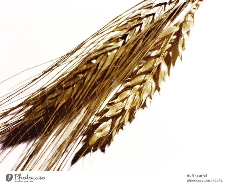 Habe die Ähre! Natur alt weiß Blüte Feld neu einfach Getreide antik Weizen Anschnitt Ähren Roggen