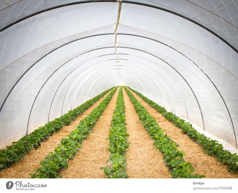 Erdbeertunnel weiß gelb Wärme Frühling grau Ordnung Wachstum Perspektive ästhetisch rund viele Landwirtschaft Leidenschaft lang Reihe nachhaltig