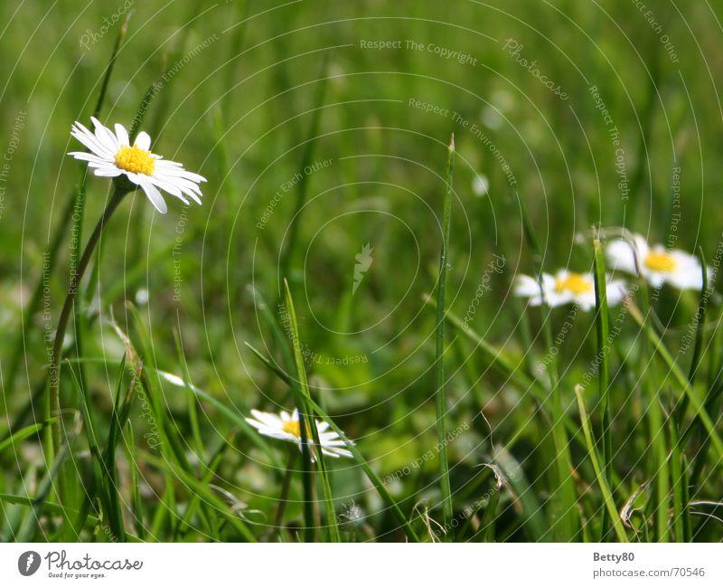Hoch hinaus Natur weiß Blume grün Sommer gelb Wiese Frühling Blühend Gänseblümchen