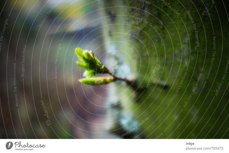 Frühlingsbote Natur Baum Blatt Grünpflanze Blattknospe Buchenblatt Buchenkeim Garten Park Wald Wachstum frisch klein natürlich saftig braun grün Gefühle