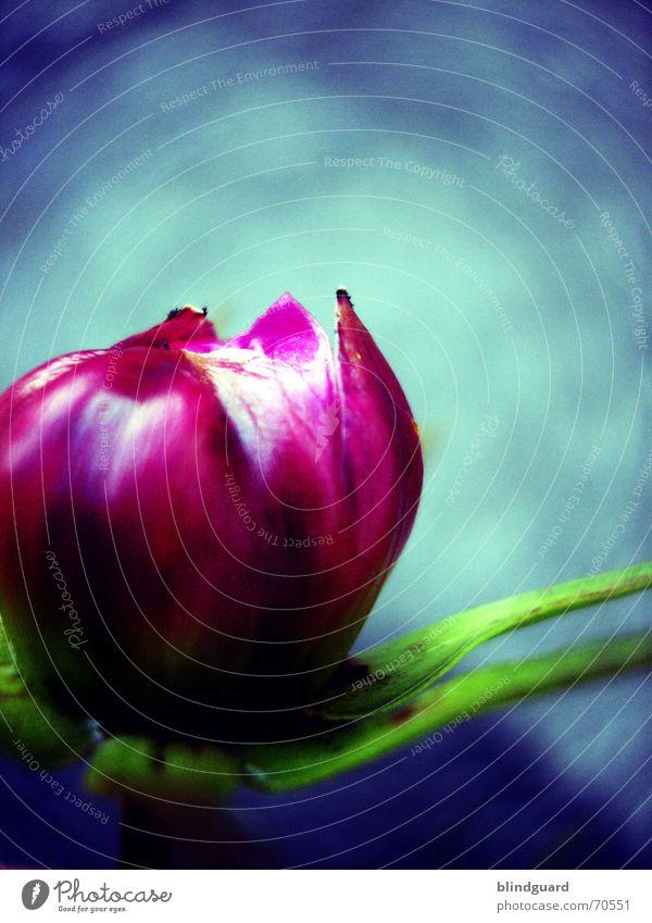 Blütenaufgang zart zerbrechlich mehrfarbig rosa aufgebrochen sensibel schön grün Sommer Pflanze poetisch geheimnisvoll seltsam Makroaufnahme Nahaufnahme Garten