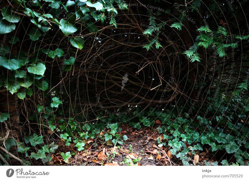 ein wahres Ostereierversteck Natur Frühling Sommer Herbst Sträucher Efeu Grünpflanze Wildpflanze Unterholz Eibe Garten Park dunkel gruselig unten grün schwarz