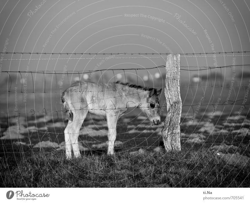 Junges Wildes Frühling Küste Nordsee Speicherkoog Dithmarschen Naturschutzgebiet Weltkulturerbe Wildtier Pferd Wildpony Wildpferde Konik 1 Tier Tierjunges