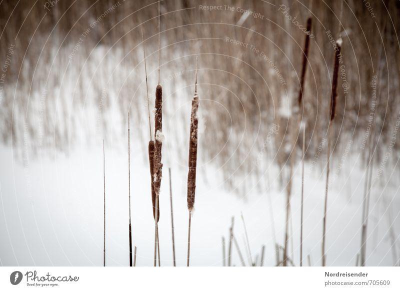 Ein Wintertag ruhig Natur Landschaft Pflanze Eis Frost Schnee Seeufer Moor Sumpf Teich dehydrieren trocken braun weiß stagnierend Stimmung Rohrkolben Schilfrohr