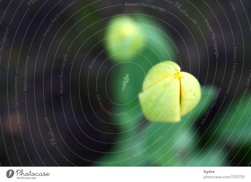 letzte Vorbereitungen Erholung Meditation Natur Pflanze Blume Blüte Tulpe Tulpenblüte Blühend einfach frisch natürlich braun gelb grün Frühlingsgefühle