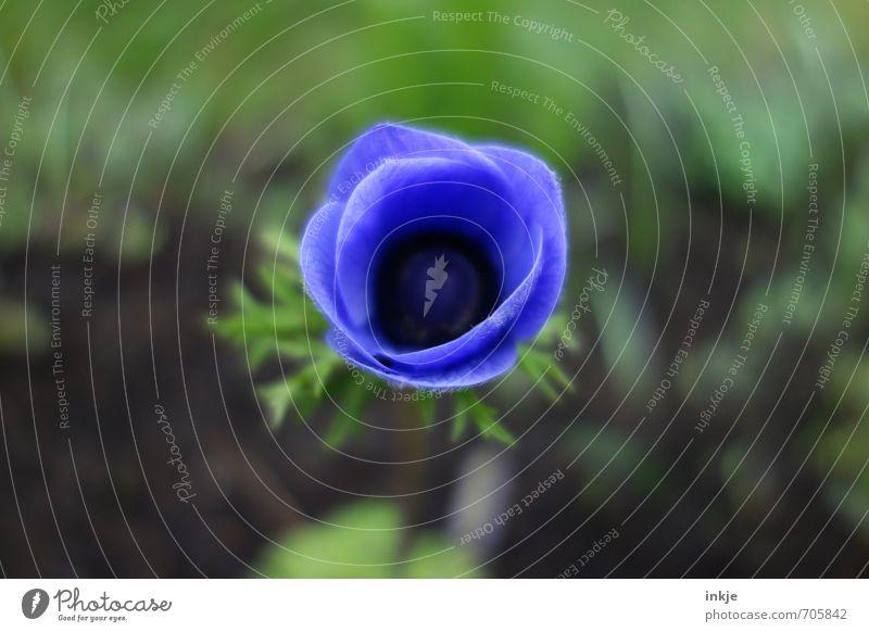 ooc Natur Frühling Sommer Blume Blüte Garten Blühend frisch natürlich schön blau grün Frühlingsblume Farbfoto Außenaufnahme Nahaufnahme Detailaufnahme