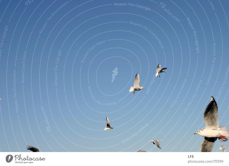möwenspass auf rügen Himmel blau Freiheit Vogel fliegen Schönes Wetter Möwe Schwarm
