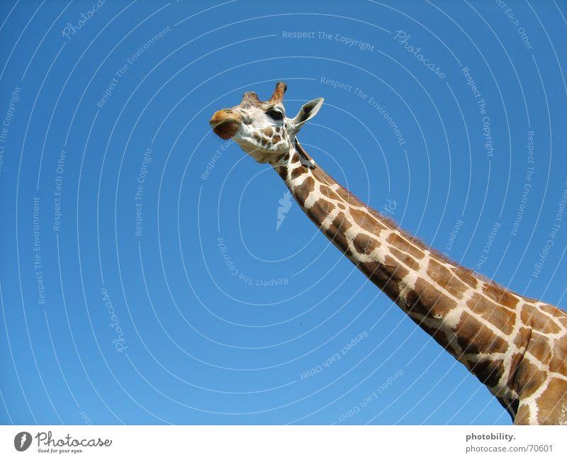 Eine Giraffe will hoch hinaus! Tier lang Muster scheckig groß erhaben Afrika Wiederkäuer Himmel giraffenhals Hals Fleck blau Freiheit