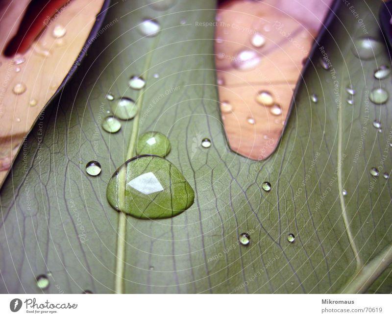 Blätter Wasser grün Pflanze Blatt Regen braun Wassertropfen nass Trinkwasser Vergänglichkeit feucht Tau Tränen Gefäße Blattadern