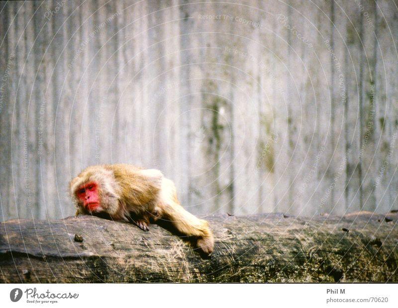 Müder Affe... rot Tier grau Traurigkeit träumen braun liegen schlafen trist Trauer Zoo Müdigkeit Baumstamm Wachsamkeit gefangen Affen