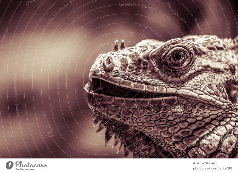 Vintage Porträt eines Leguans Natur alt Tier dunkel Gefühle natürlich braun wild Wildtier Lächeln beobachten Abenteuer historisch geheimnisvoll sportlich