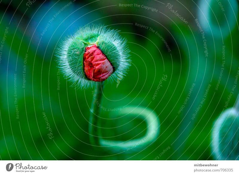 Da kommt was auf mich zu! Natur Pflanze Frühling Blume Blüte Blühend drehen Duft Wachstum warten fantastisch Neugier schön grün rot Glück Lebensfreude