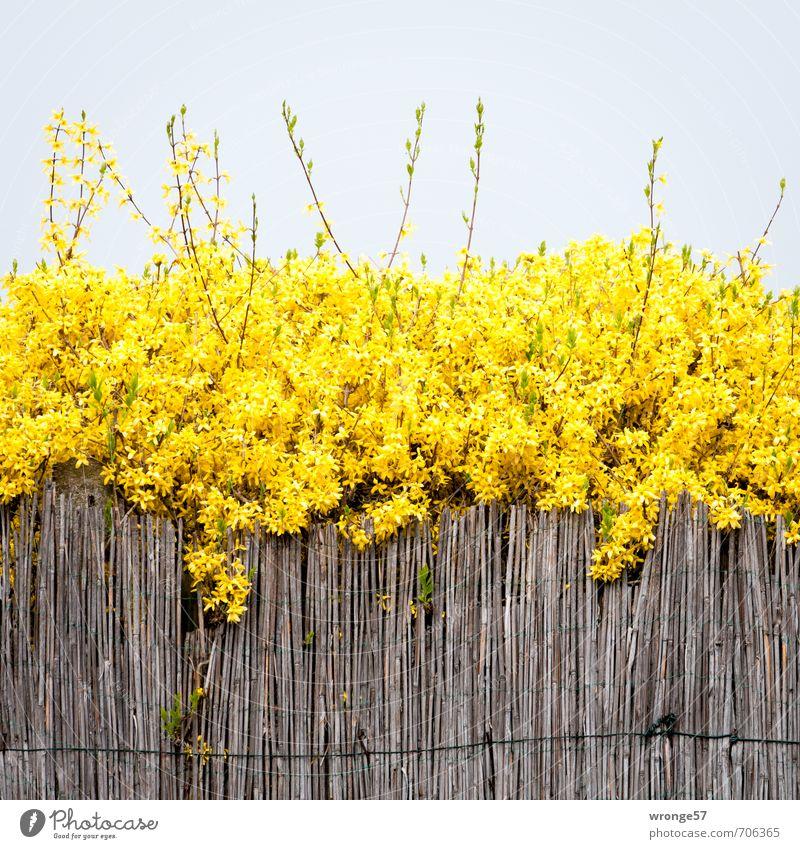 Es ist Frühling Pflanze Himmel Wolkenloser Himmel Sträucher Blüte Forsithie Forsythienblüte Garten braun gelb goldgelb Goldglöckchen Zaun Schilfrohr