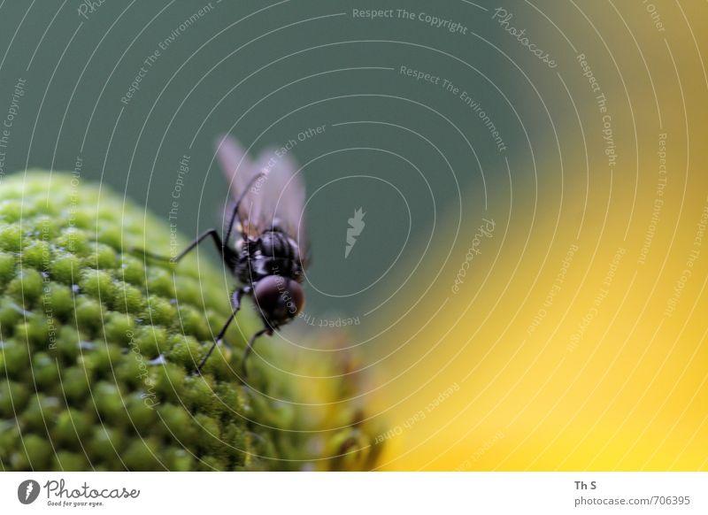 Fliege Natur schön grün Pflanze Sommer Tier schwarz gelb Frühling Blüte natürlich elegant ästhetisch Blühend einzigartig