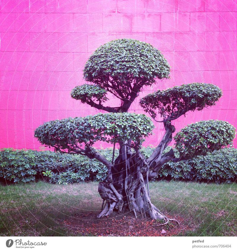 Bonsai Baum Gras Sträucher exotisch Park Mauer Backstein klein Stadt grau grün rosa Design einzigartig Asien China dünn Farbfoto Außenaufnahme Menschenleer