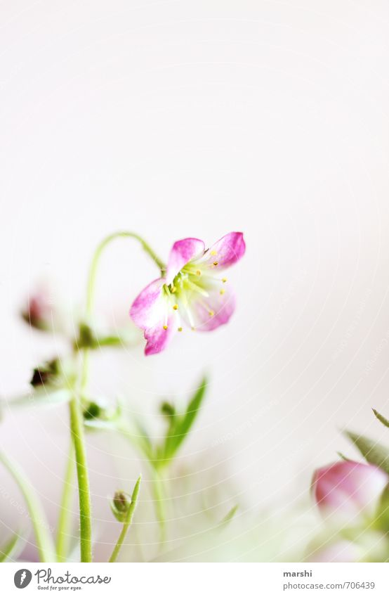 Geburtstagsblümle Natur grün Pflanze Blume gelb Frühling rosa Blühend zart Frühlingsgefühle