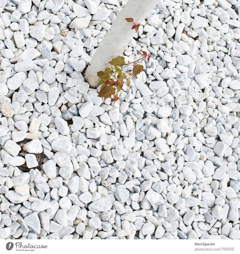 Sprössling | Abstammung Pflanze Frühling Baum Blatt Grünpflanze Garten Park Stein Holz klein grün weiß Frühlingsgefühle Mut standhaft sprießen Wachstum