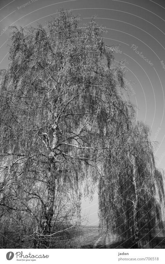 Gespenstbirke wandern Skulptur Wolkenloser Himmel Sonnenlicht Frühling Baum Feld Wege & Pfade Tunnel alt ästhetisch dunkel gruselig Macht Romantik bedrohlich
