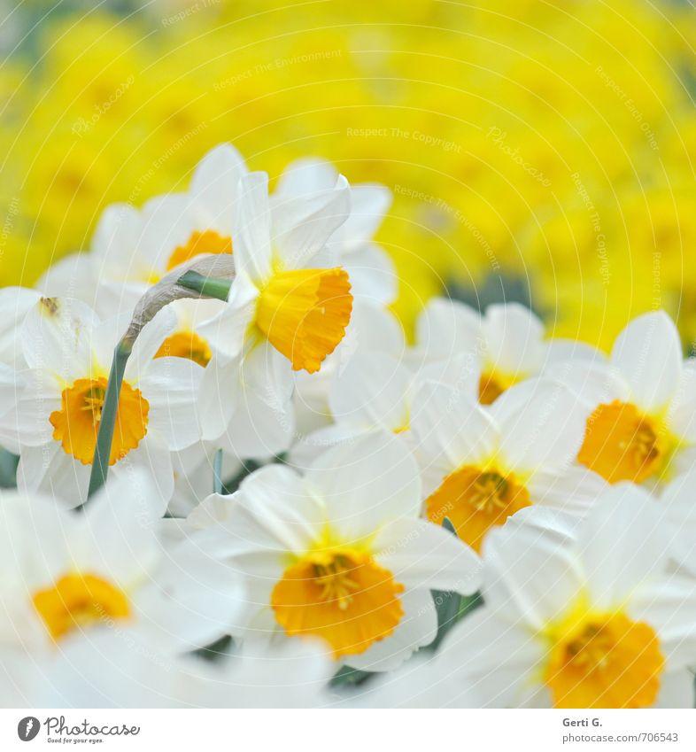 frisch*fröhlich*Frühling Pflanze weiß Blume gelb Blüte Park mehrere Frühlingsgefühle Vielfältig lichtvoll Narzissen Gelbe Narzisse Licht leuchtende Farben