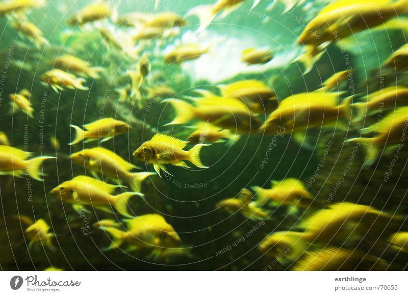 Die Tiere sind unruhig Aquarium gelb grün Zoo Querformat Gegenlicht Abwechselnd chaotisch Fisch focus Museum Schwimmhilfe Dynamik große gruppe Wasser Bewegung
