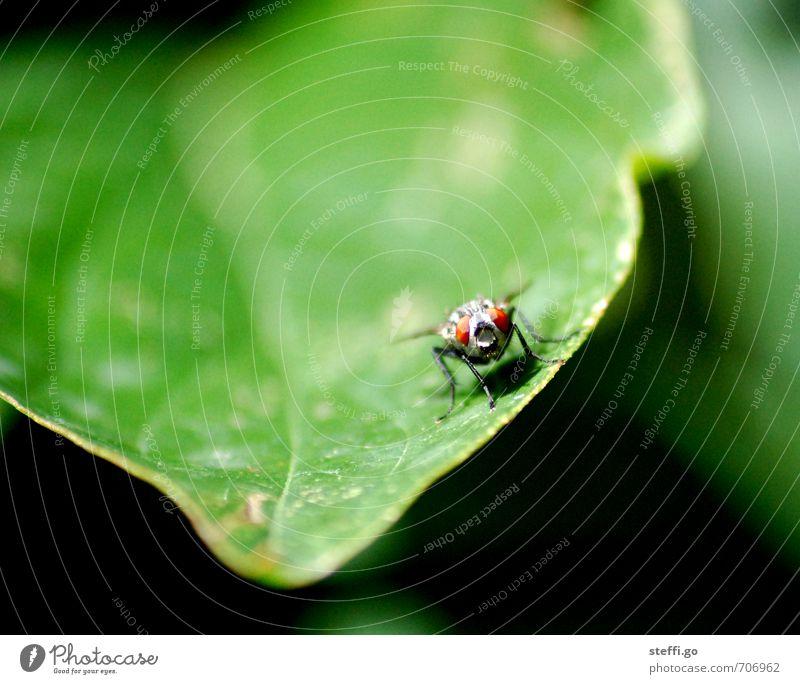 Moin! Pflanze Tier Fliege Tiergesicht Flügel Insekt 1 beobachten exotisch wild entdecken Erwartung Neugier Freiheit frei grün Blatt Blattadern fliegen Auge