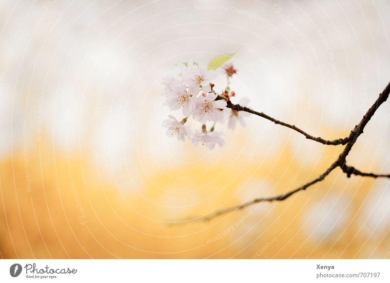 Frühlingserwachen Natur Pflanze Baum Blüte Kirschblüten Blühend ästhetisch gelb rosa Frühlingsgefühle zart Kirschbaum Ast Vorfreude Romantik Außenaufnahme