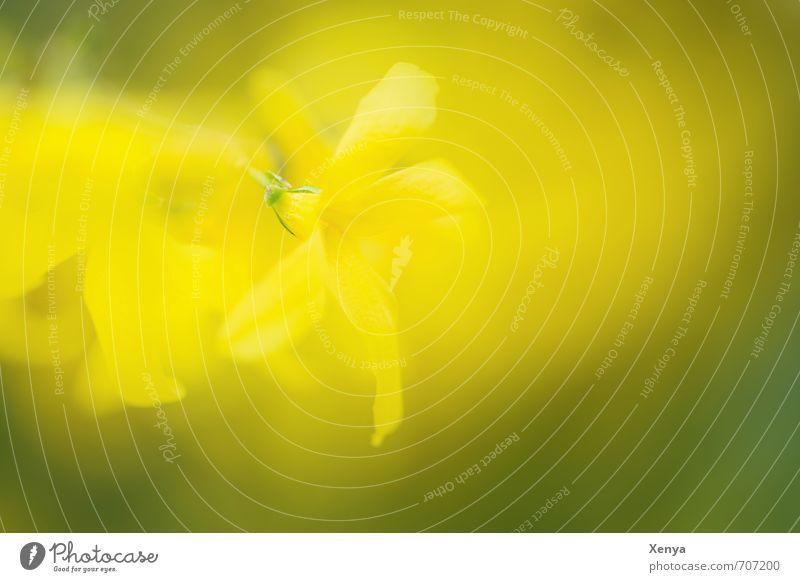 mehrfach schön Umwelt Natur Pflanze Frühling Sträucher Blüte Blühend leuchten gelb grün Unschärfe Doppelbelichtung Außenaufnahme Detailaufnahme Experiment