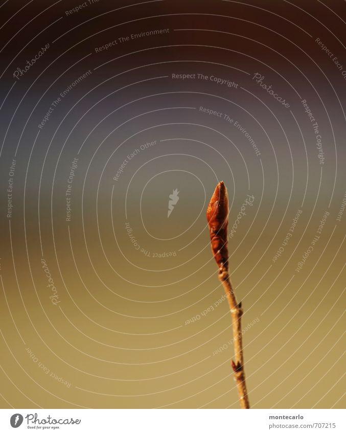 das wird noch Umwelt Natur Pflanze Frühling Blatt Blüte Grünpflanze Wildpflanze dünn authentisch einfach hoch klein natürlich saftig stark wild blau braun