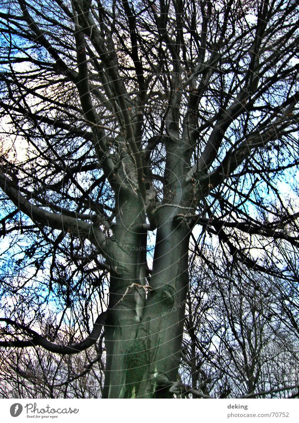 Siamesische Zwillinge Baum weiß schwarz Natur Ast Netz Baumkrone Zweig Himmel blau Niveau hoch baumportrait